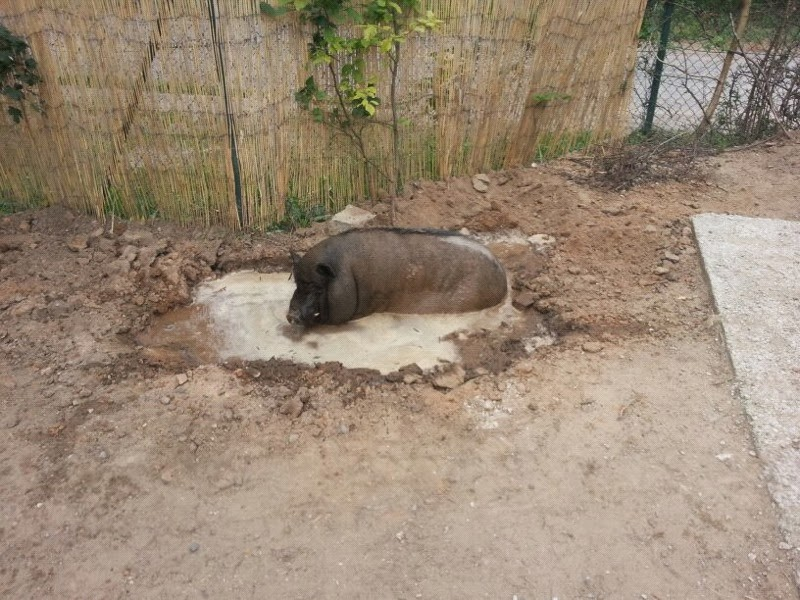 Ein Pool für die Schweins!