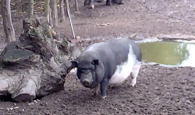 Schweinelovestory #4: Das schüchterne Tierheim-Schwein