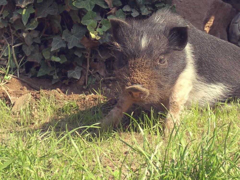 Schweinelovestory #16: Sausüße Babybilder