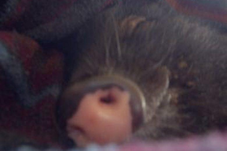 Minischwein Sammi schläft