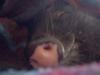 Schweinelovestory #3: Ein Schwein im Haus