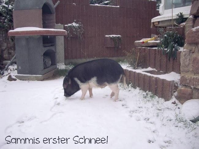 Schweinelovestory: Minischwein im Schnee