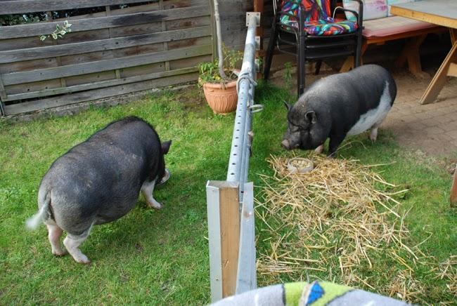 Schweinelovestory #7 ~ Die Vergesellschaftung