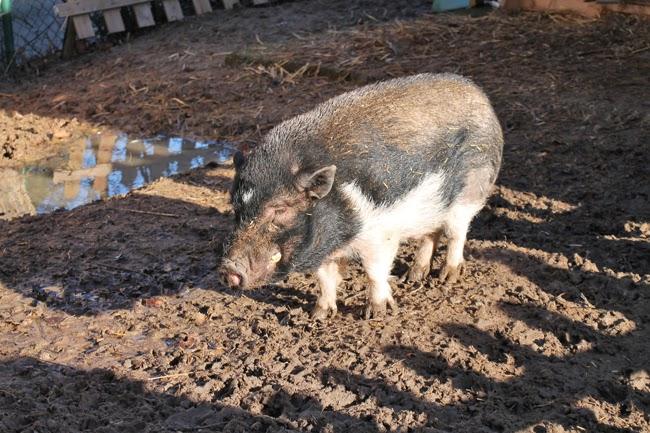 Schweinelovestory #11 ~ Das kranke Schwein