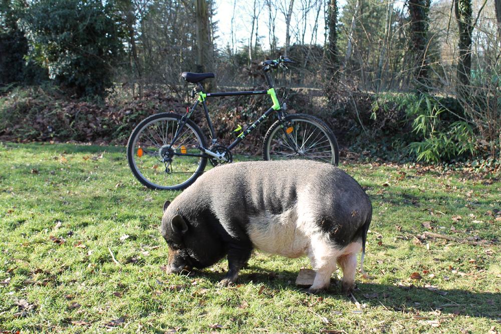 Schweinelovestory #13 ~ Schweinefotos in Gefahr oder: Die Sache mit dem Urheberrecht