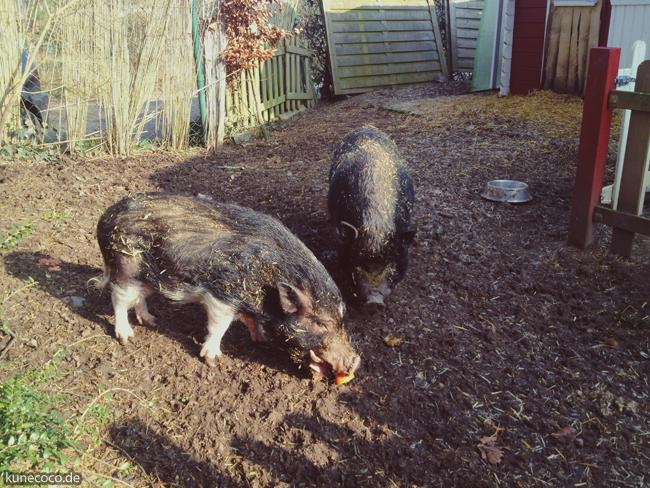 Schweinelovestory 15: Fragt die Schweins!