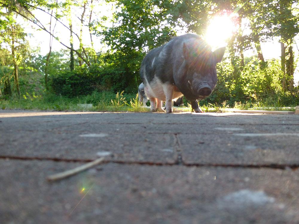 Schweinelovestory #17: Vorurteile über Schweine
