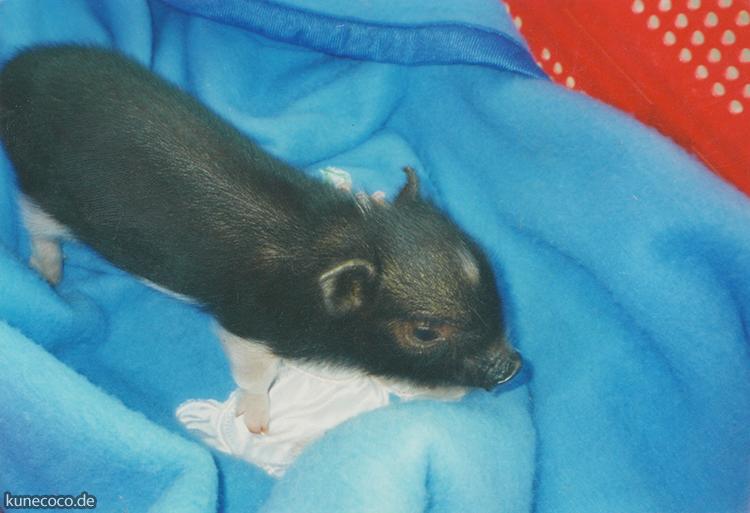 KuneCoco • Schweinelovestory 18 •  Gibt es einen Schweinehimmel?