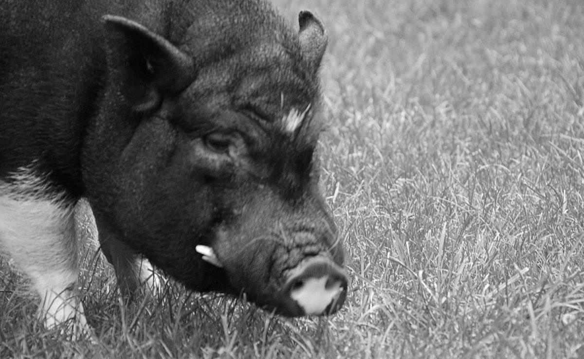 Schweinelovestory #19: Gibt es einen Schweinehimmel?