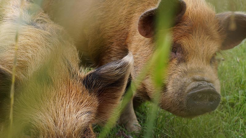 KuneCoco • Lemsdale Kune Kunes • Kune Kune Schweineliebe